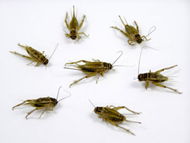 Live Crickets for fishing bait or feeding your pets.